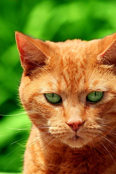 File Ginger By Gage Skidmore Jpg Wikimedia Commons Orange Cats Orange Tabby Cats Pretty Cats