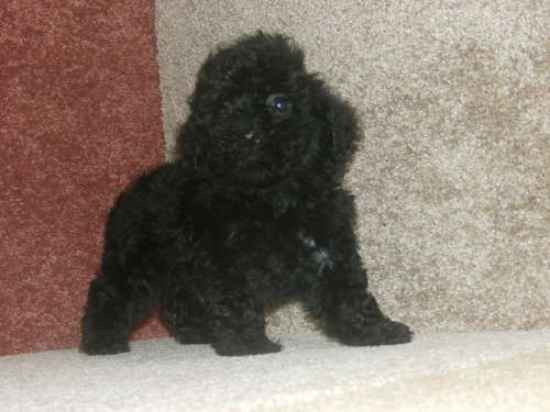 Maltese Poodle Toy Mix Puppy For Sale In Tucson Az Adn 23965