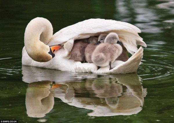 Swan with her babies