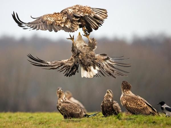White-tailed eagles sparring in Kutno in Poland, watched by a group of young…
