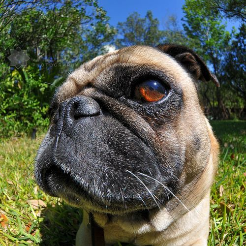 Curtis Sayin Whatchu Talkin Bout Willis Pugs Pugs Pug