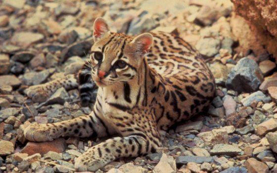 Hallan nueva especie silvestre en cerros orientales de Bogotá Tigrillo lanudo