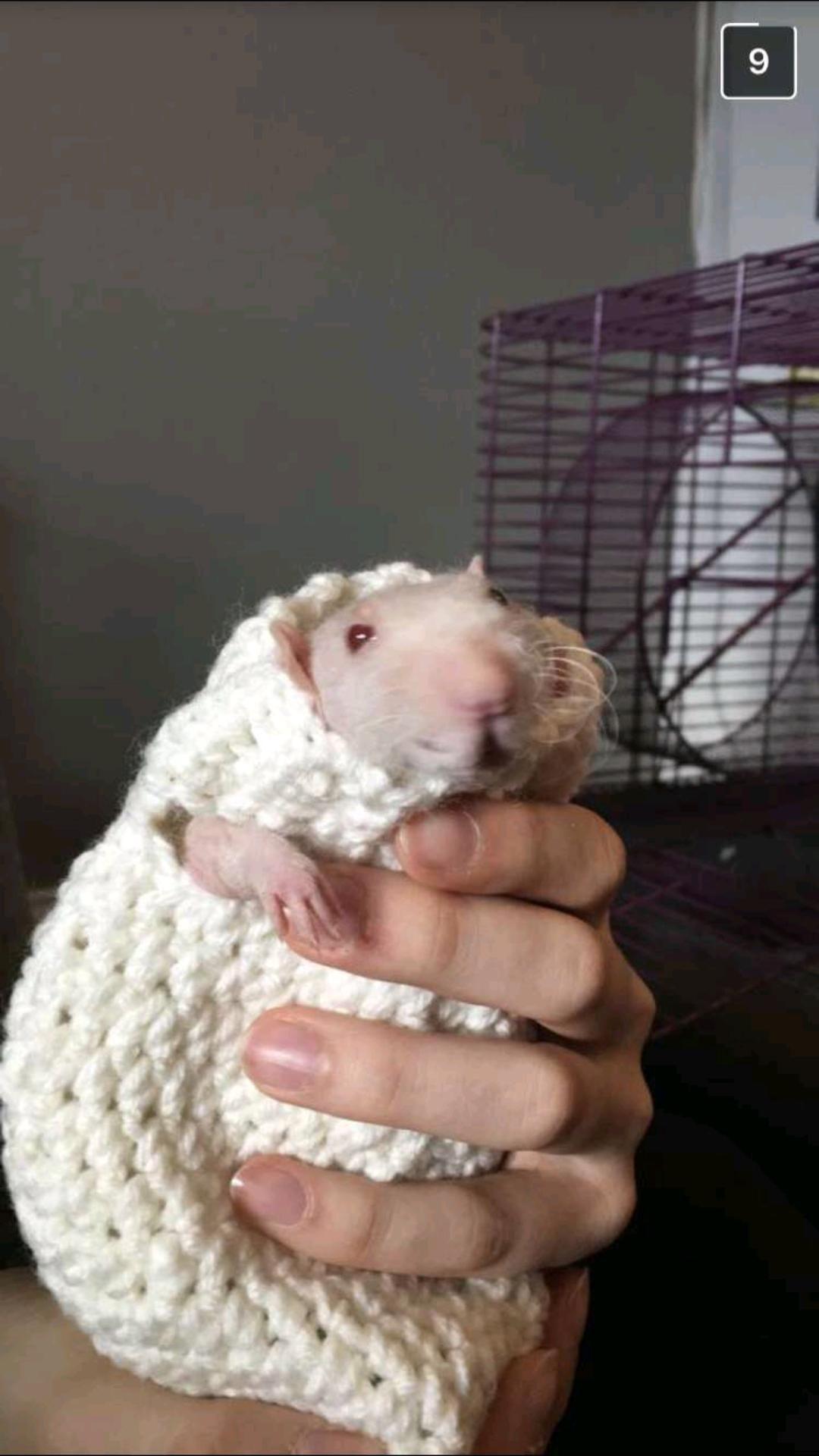 My girlfriend's hairless rat in his new sweater ) Cute