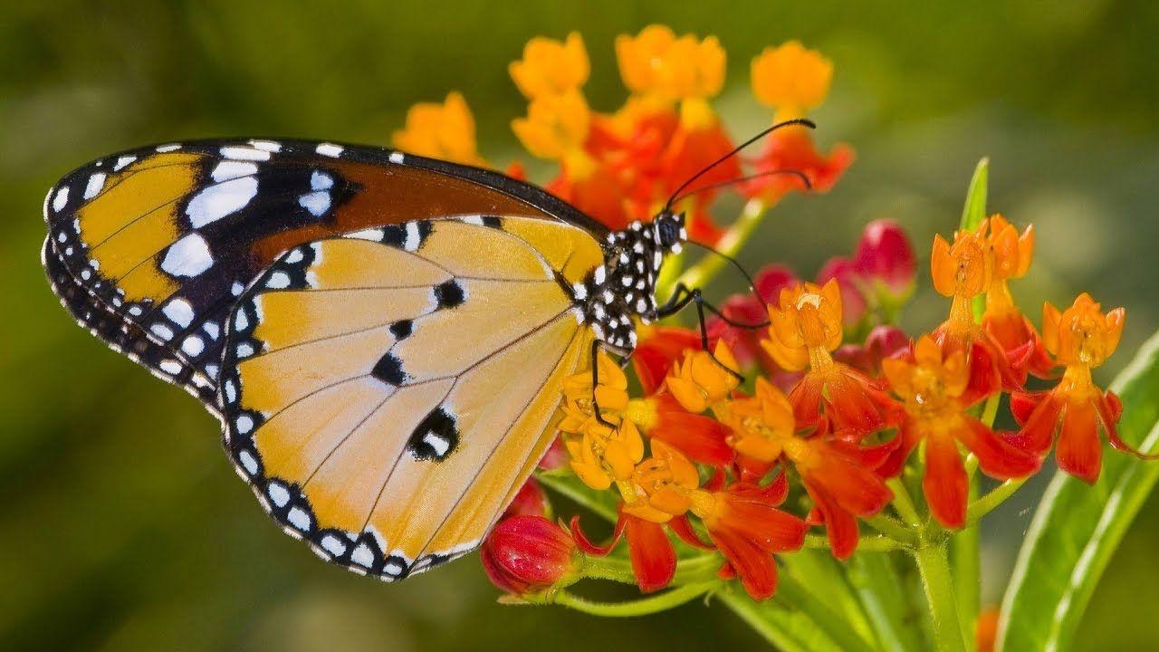 Gerelateerde afbeelding | Butterfly wallpaper, Yellow ...