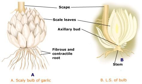d445fcb09672b5b78a71408a77e559f3 structure of bulb in garlic root, stem & leaf roots, biology, plants