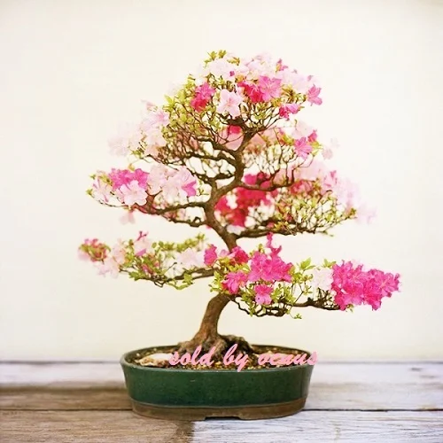 10 Japanese Cherry Tree Seeds Grow Bonsai Or Full Tophatter Bonsai Azalea Bonsai Plants Bonsai Art