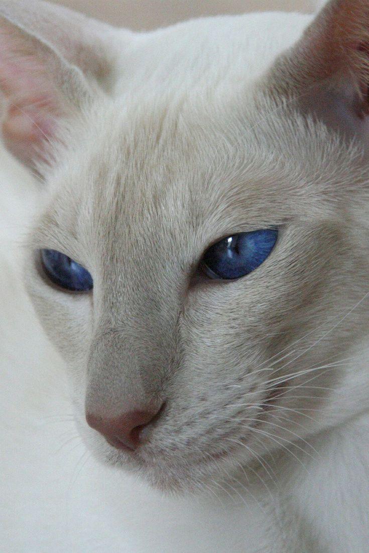 A cute Siamese cat with amazing blue eyes cute Siamese