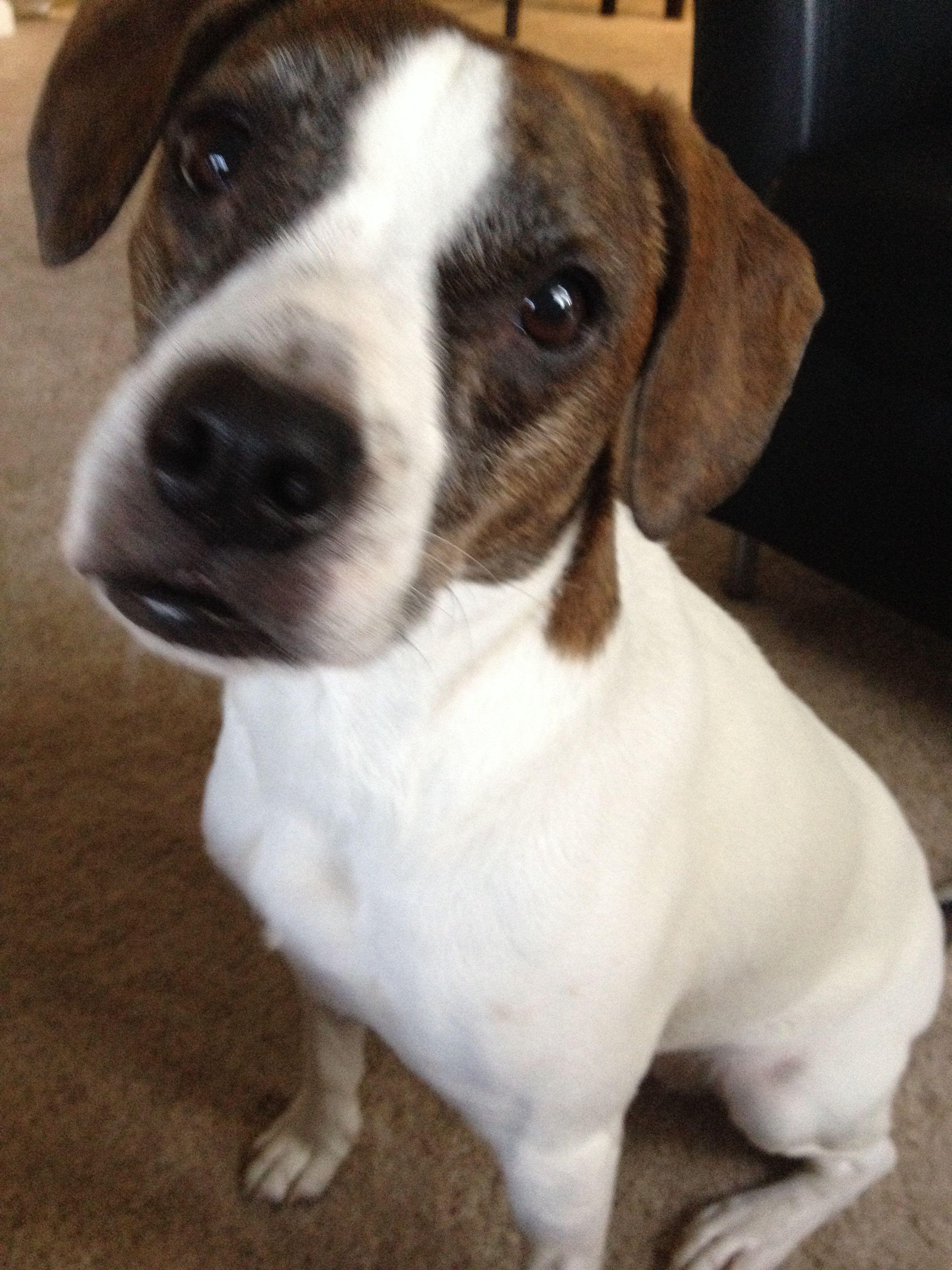 Boggle Boston Terrier Beagle Mix My Lovely Girl Boston Terrier