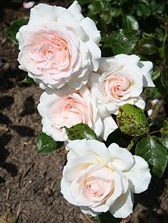 Chandos Beauty 4 25 Edelrose 100cm 6b Himbeerduft Schone Blumen Exotische Blumen Und Rosenarten