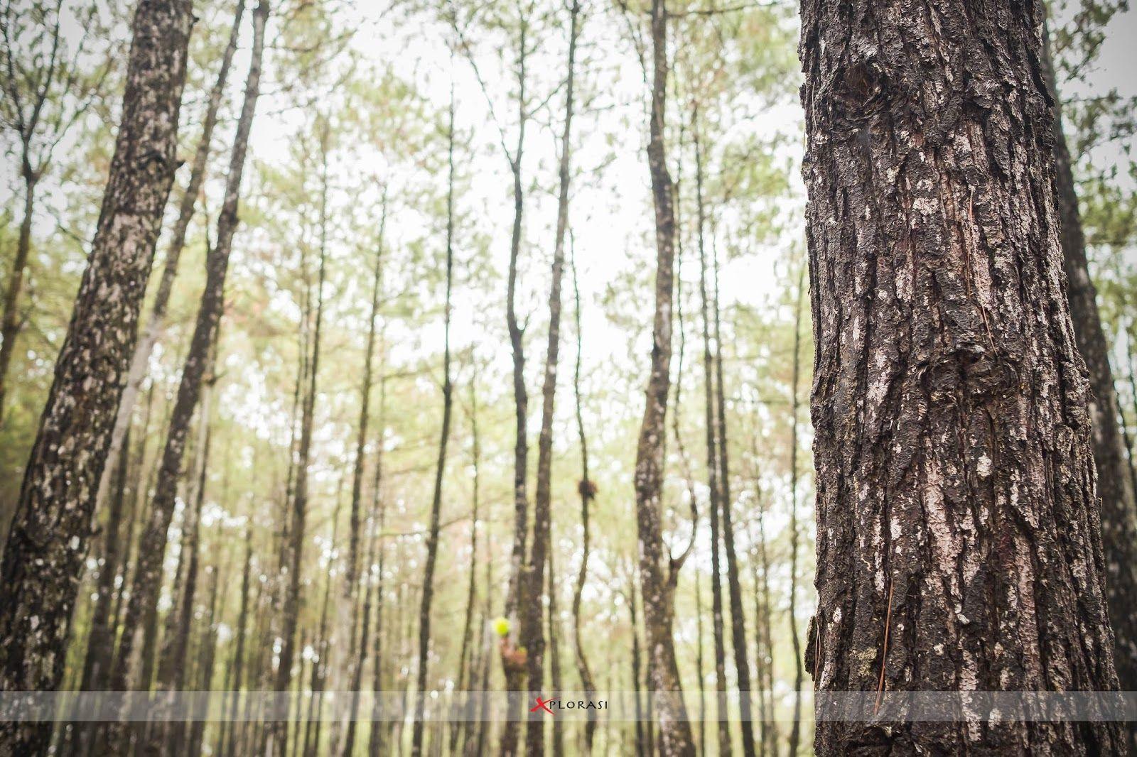 Xplorasi Menikmati Eksotisme Hutan Pinus Di Puncak Becici Pohon Pemandangan Hutan