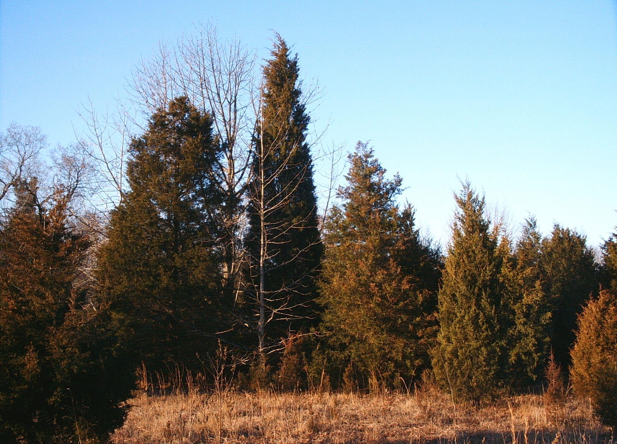 Small Cedar Varieties ~ Juniperus virginiana eastern red cedar small to medium
