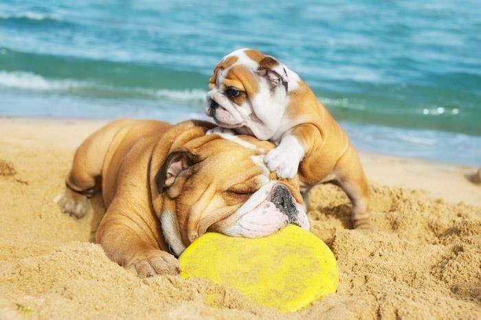 Come On Mom Bulldog Cute Animals Dog Friends