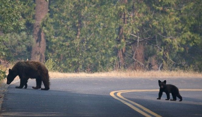 Crews struggling against an aggressive wildfire in Yosemite National Park have had to deal with steep terrain, dense forest brush, oppressive heat, and now, bears. Yosemite Wildfire Has Destroyed 5000 Acres Of Forest. What About The Bears? #Bears #Yosemite #Wildfire #Bushfire http://www.inquisitr.com/1473065/crews-fighting-yosemite-wildfire-have-another-threat-to-deal-with-bears/