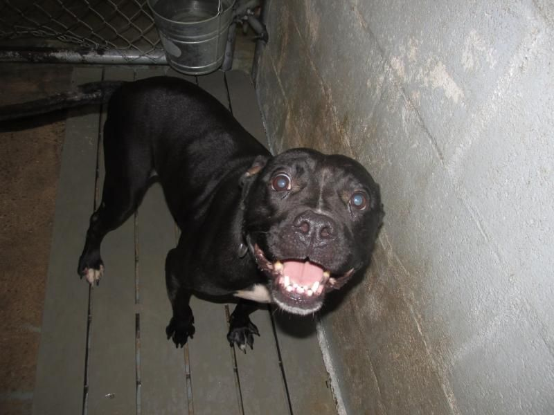 Adopt Darla on (With images) Dog search, Dogs, Labrador