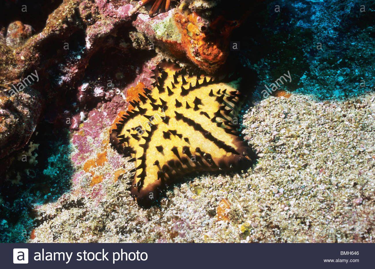 Chocolate Chip Sea Star Starfish Underwater In The Galapagos Galapagos Sea Star Underwater Photography