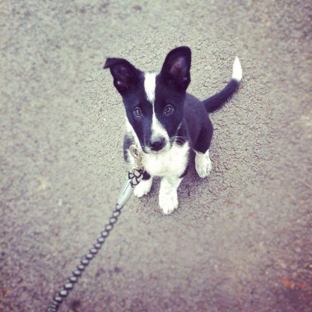 Australian Shepherd Border Collie Dingo Mix Pup Dingo Dog