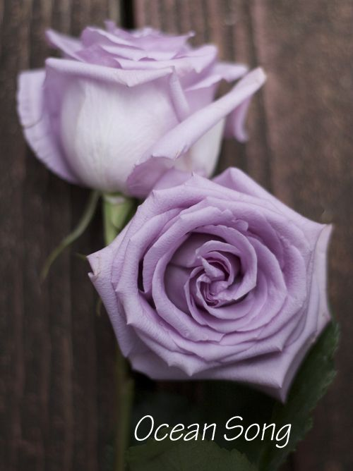 The Lavender Purple Rose Study Purple Roses Lavender Roses Rose Varieties