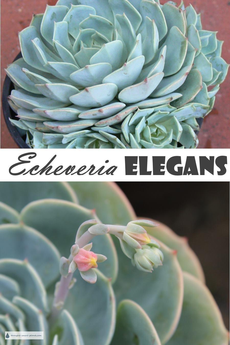 Echeveria Elegans The Mexican Hens And Chicks Jardins Succulentes