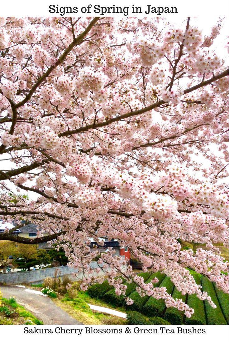 Signs Of Spring In Japan Cherryblossoms Travel Japan Ninjabaker Com Cherry Blossom Festival Japan Summer Japan