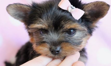Cute Yorkie Puppy By Teacupspuppies Com Yorkie Puppy Yorkie Really Cute Dogs