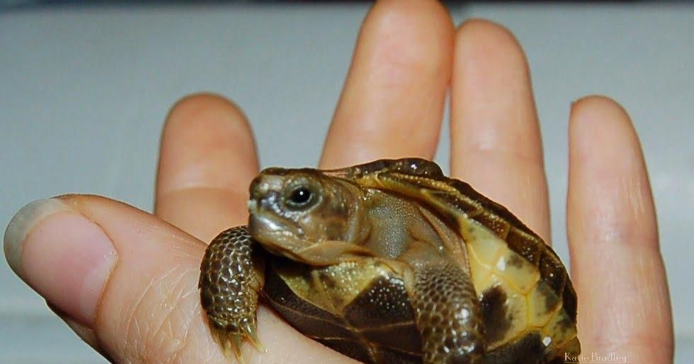 Tortaddiction Baby Russian tortoise care sheet (also for