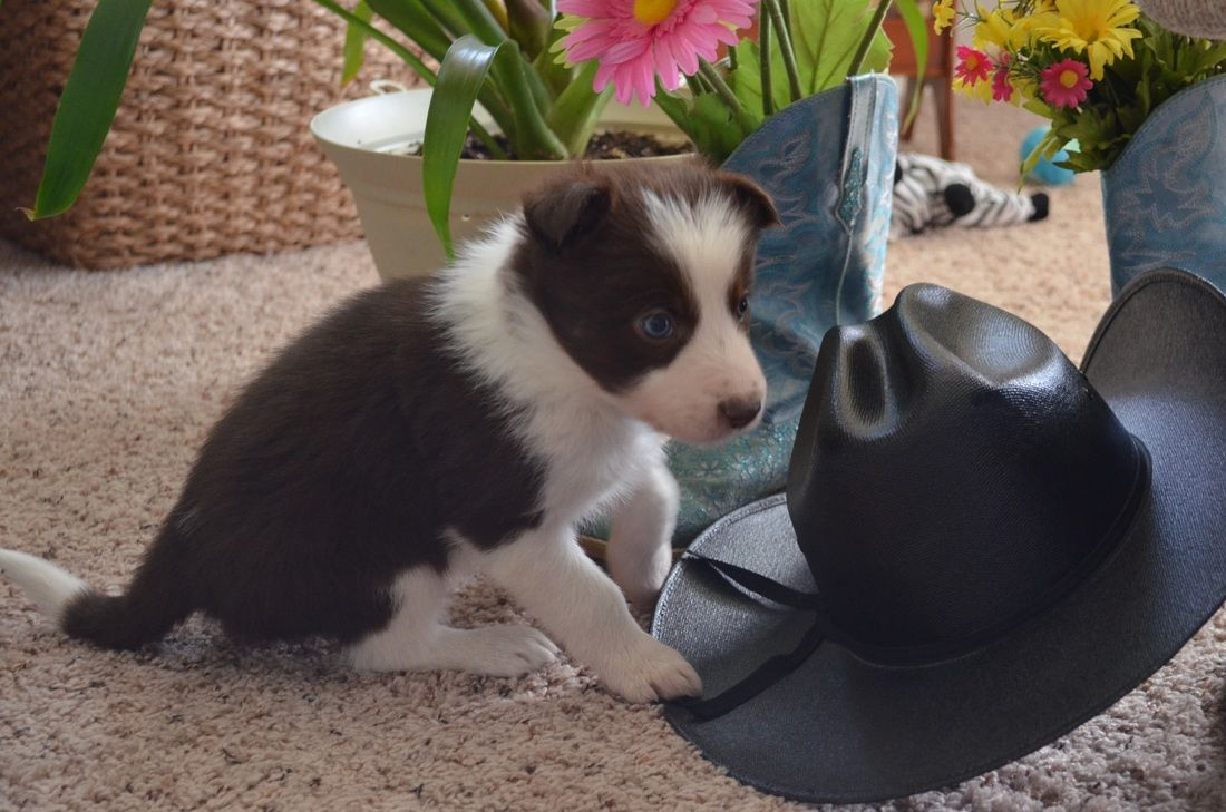 A Gorgeous Red And White Border Collie Puppy With Blue Eyes From 2j 2k Border Collie S Puppies With Blue Eyes Border Collie Border Collie Puppies