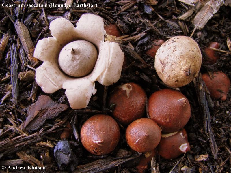 Geastrum saccatum (Rounded Earthstar | Fabulous Fungi, Moss