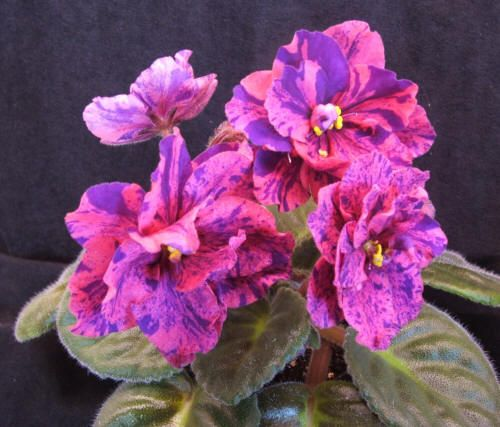 Live Wire.  Standard African violet.