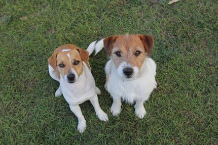 Tobin Jack Russells Jack russell, Jack russell dogs