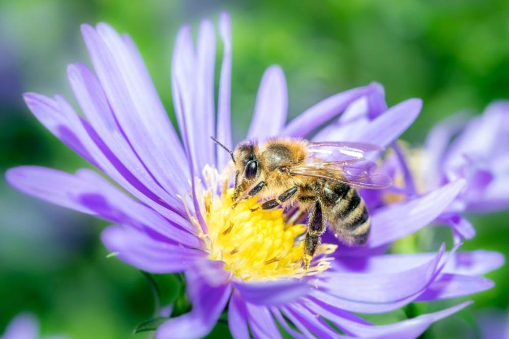 Bienenfreundliche Stauden: Die schönsten Bienenstauden für den Garten - Plantura