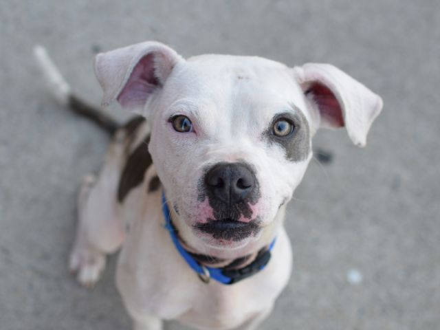 SAFE 11-15-2015 --- RETURNED 09/17/15 DESTRUCTIV --- SAFE 7-6-2015 --- Brooklyn Center ST VINCENT – A1041538 MALE, WHITE / BROWN, PIT BULL MIX, 1 yr STRAY – STRAY WAIT, NO HOLD Reason STRAY Intake condition EXAM REQ Intake Date 06/26/2015