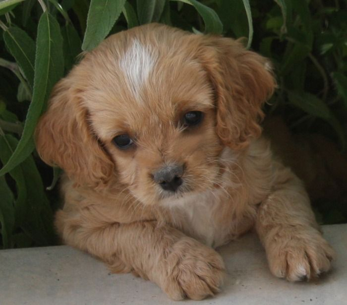 Cavapoo Cavalier Toy Poodle Puppies Cute Dogs Pets