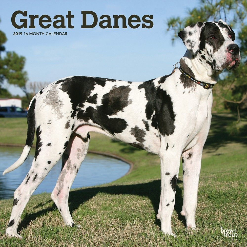 Great Danes International Edition 2019 12 X 12 Inch Monthly Square