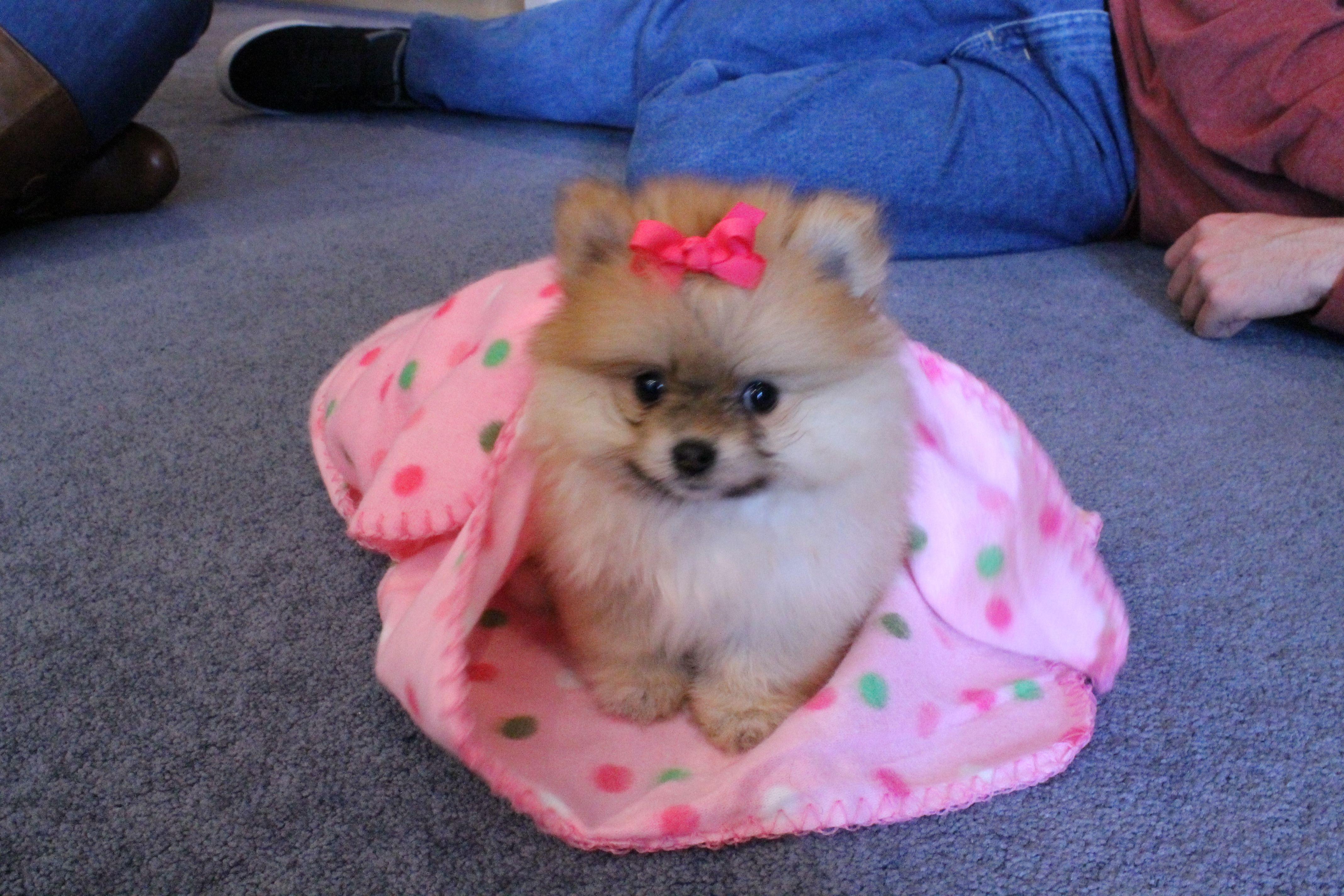 little princess..teacup pomeranian Cute pomeranian