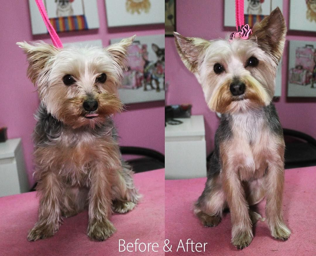 Toula Yorkie Yorkshireterrier Dog Dogs Doggrooming