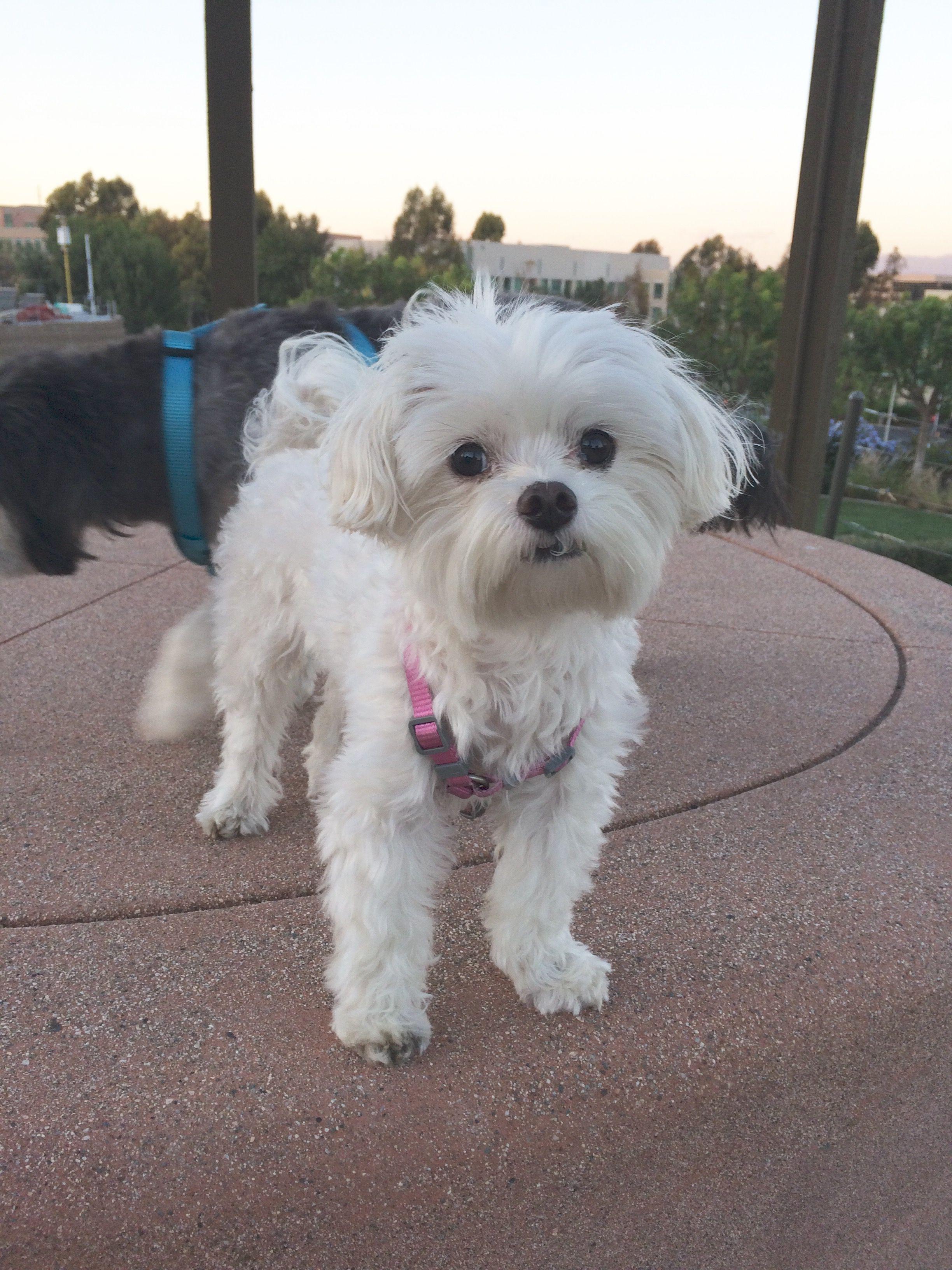 Keiki Mini Maltese Pawshake Singapore Pet Travel Mini Maltese