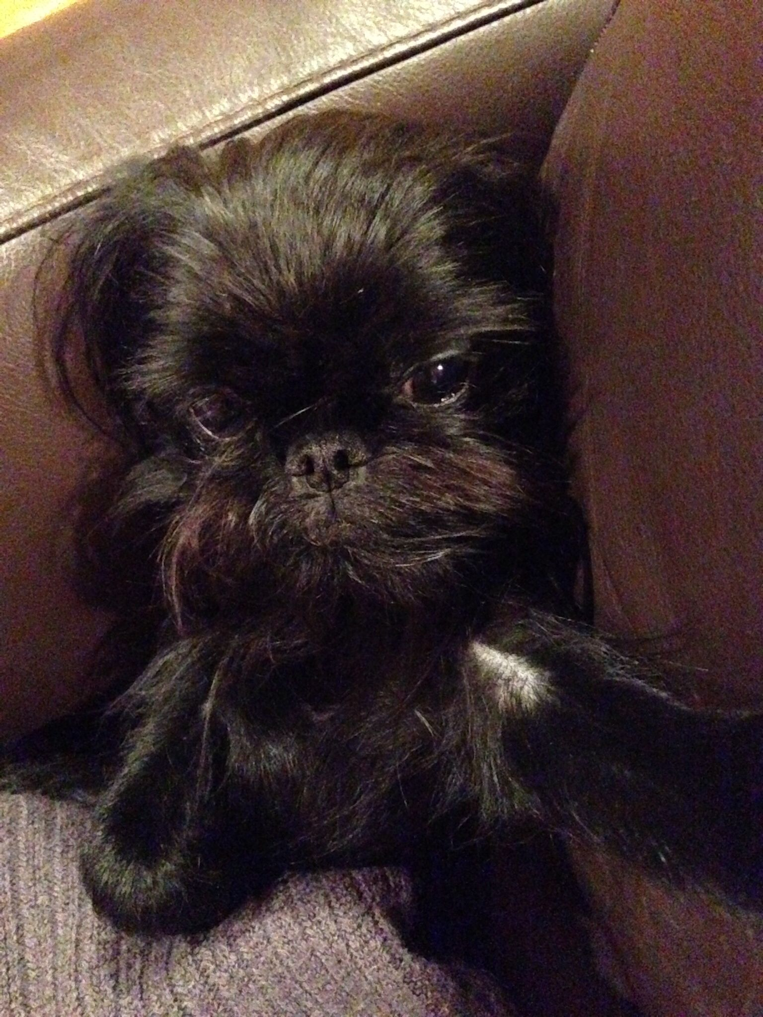 Molly the Brussels griffon