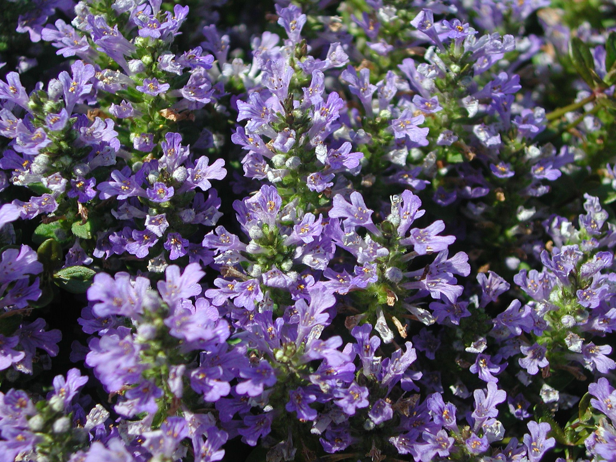 Purple Jasmine Flower Purple Flowers Of Bugleweed Lovely Flowers