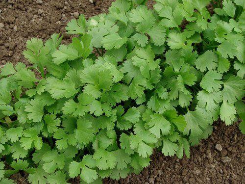 Fiche plante  Coriandre Plantas para jardin, Culinario y Plantas - plantas para jardin