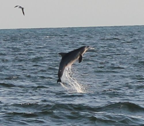 Dolphin Cruise In Myrtle Beach