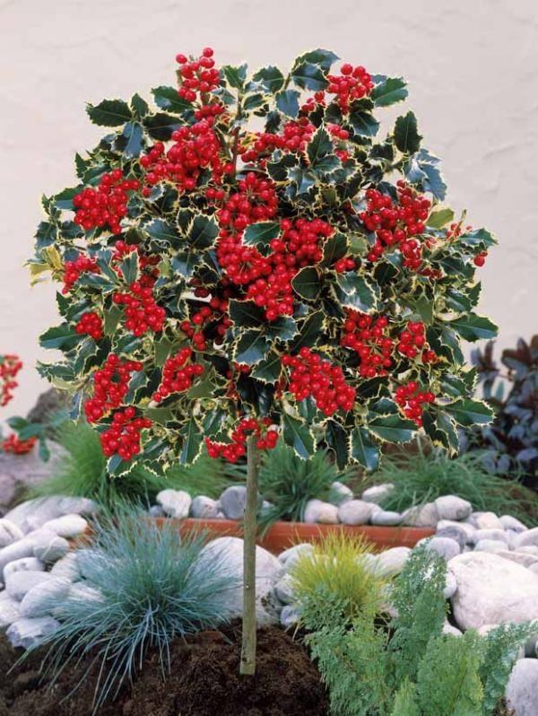 Houx argent sur tige mini plantes pour petit jardin for Alberelli ornamentali