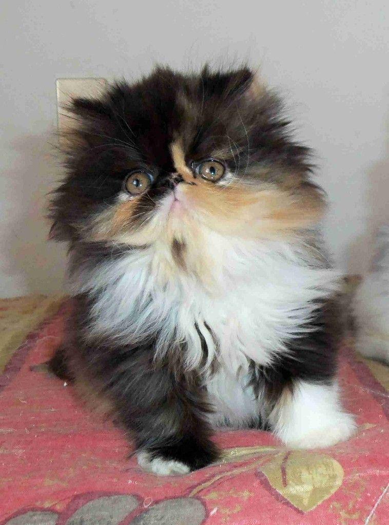 Fluffykittens Fluffykittens Fluffykittens Pretty Cats Kittens Cutest Cute Cats