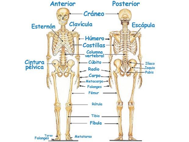 Sistemas Del Cuerpo Humano Sistema óseo Fotos Elpopular Pe Sistemas Del Cuerpo Humano Sistemas Del Cuerpo Fotos Del Cuerpo Humano