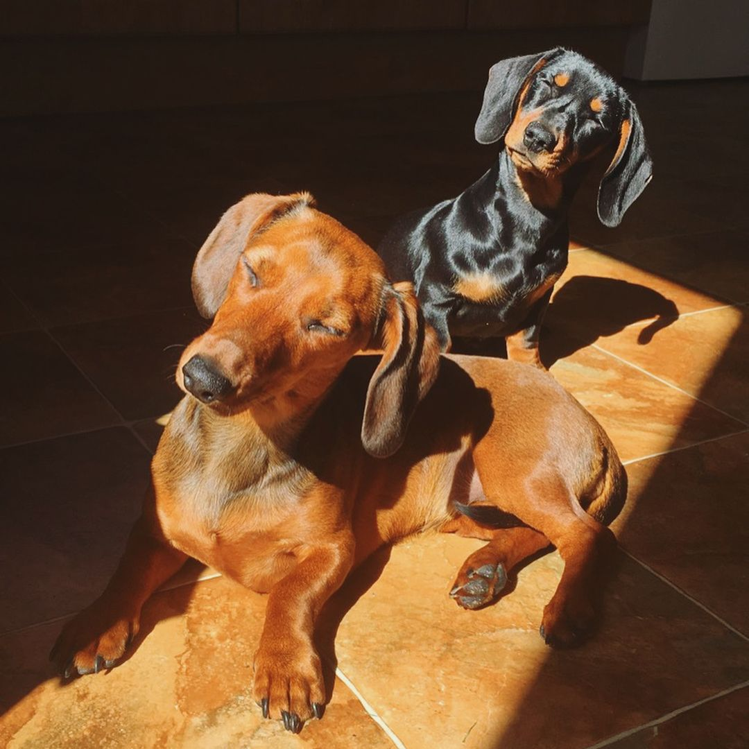 Sunbathing Dachshunds Sunbathing Sunbath Sunbathing Dogs