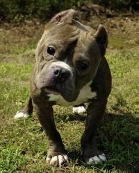 Adopt Stevie On Puppy Breeds Pitbulls Pitbull Terrier