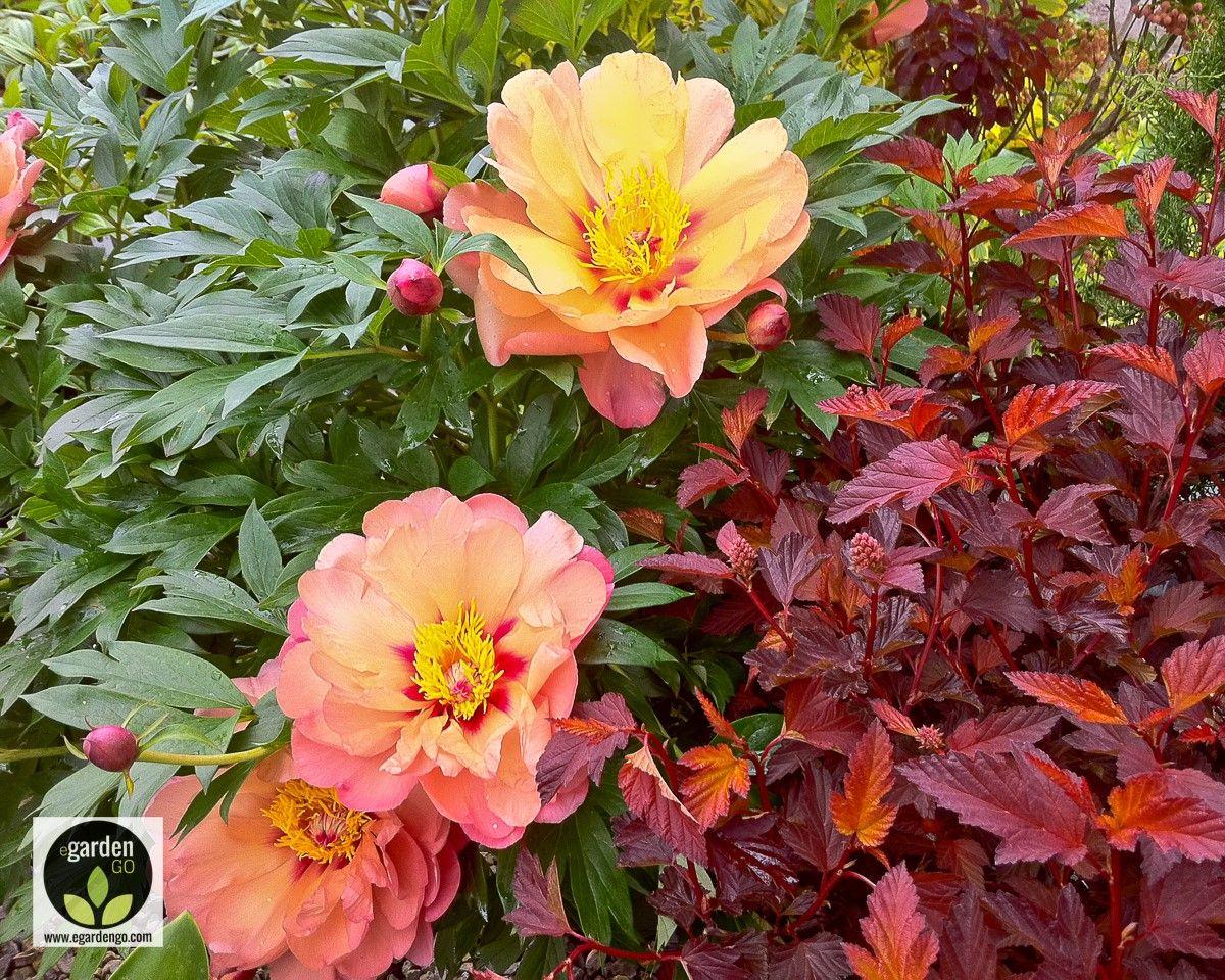 Misaka Itoh Peony Plant Combo Idea With Images Planting
