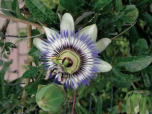 Pin On Flowering Vines