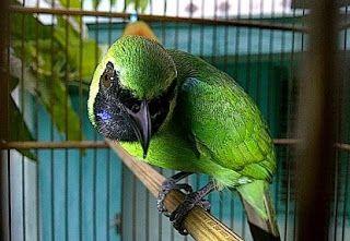 Cara Merawat Cucak Ijo Mabung Yang Benar Burung Hewan Kenari