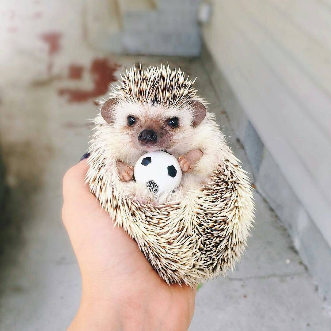 While The African Pygmy I Small He Is Active Which Means He Needs A Cage With Some Room To Move Around In The Go Hedgehog Pet Cute Hedgehog Cute Baby Animals