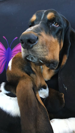 Litter of 7 Basset Hound puppies for sale in NORTH BRANCH